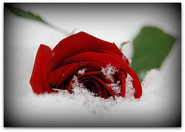 winter rose on a grave